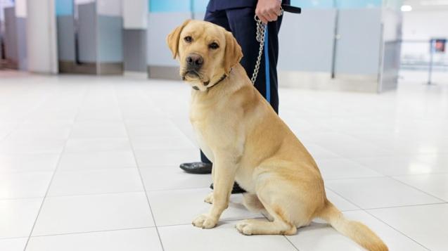 杜拜機場的海關人員正在幫助從冠狀病毒嗅探犬中進行篩查©iStock image / Getty Images